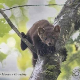 Pine-Marten-Growling-IMG_8760