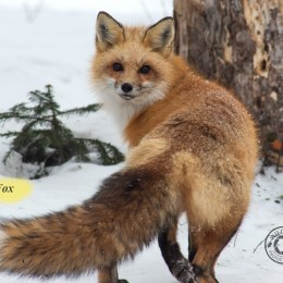 Red-Fox-IMG_5865