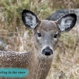 Yearling-in-the-snow-IMG_4008