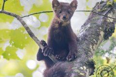 Pine-Marten-Cute-IMG_8769