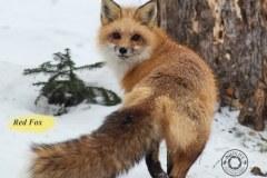 Red-Fox-IMG_5865