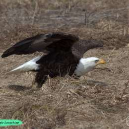 Bald-Eagle-Launching-IMG_0500