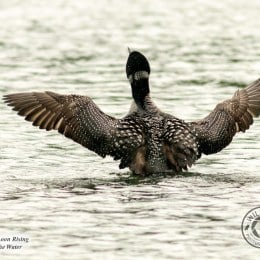 Common-Loon-Rising-IMG_8604-