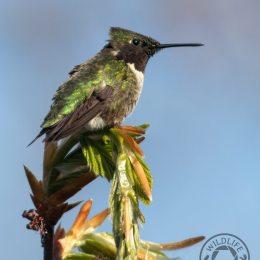 Hummingbird-IMG_7270