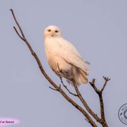 Snowy-Owl-at-Sunset-IMG_9748