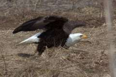 Bald-Eagle-Launching-IMG_0500