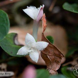 Partridgeberry-IMG_5767