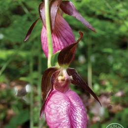 Pink-Lady-Slippers-IMG_7355
