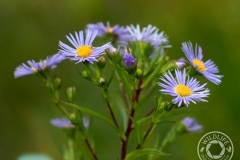 Aster-IMG_3662