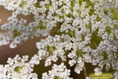 Queen-Annes-Lace-IMG_5958