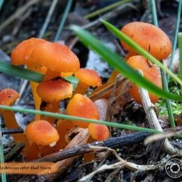 IMG_6105Orange-Mushrooms