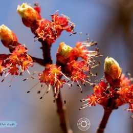 Maple-Tree-Buds-IMG_3021