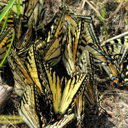 Swallowtails-Clumping-