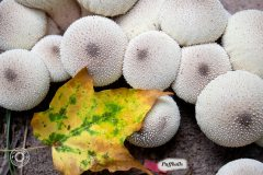 1_Puffballs-with-Leaf