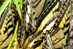 Swallowtails-Closeup-Clumping